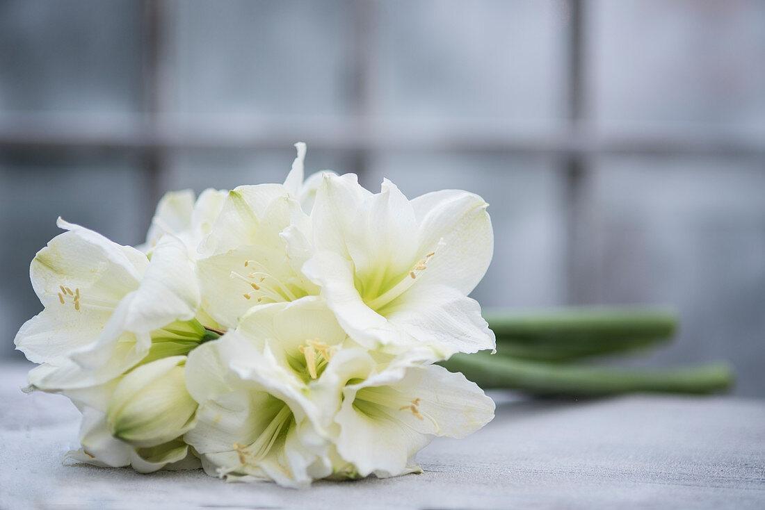 Bunch of white amaryllis