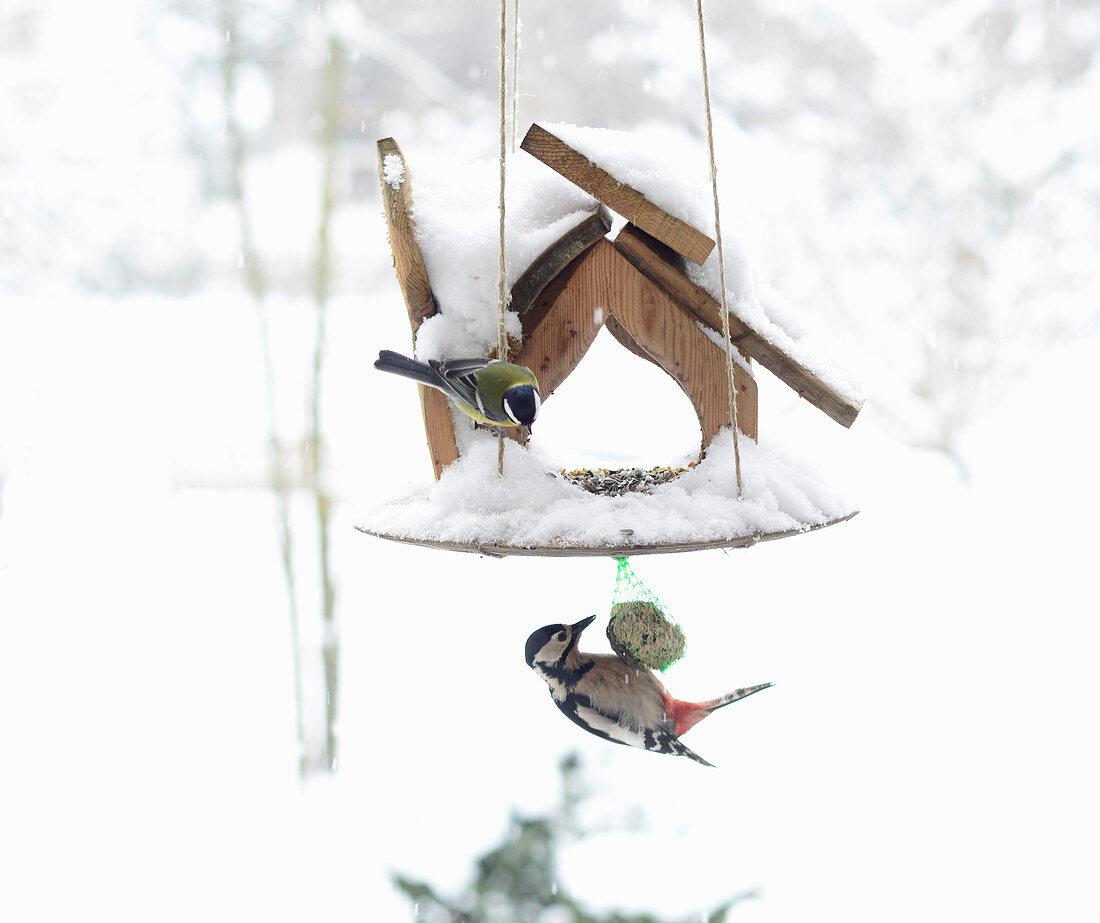 Great spotted woodpecker feeding from bird table in winter