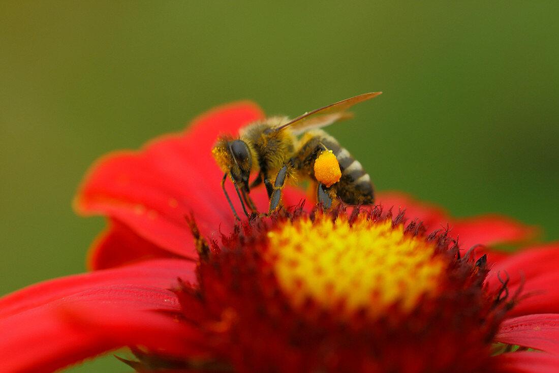 Honeybee With Pollen Bag On Flower