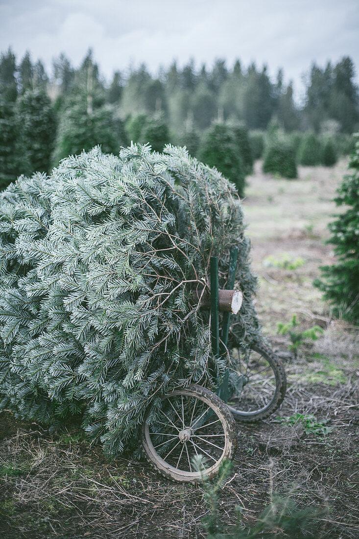 Cutting down Christmas trees at an evergreen tree farm