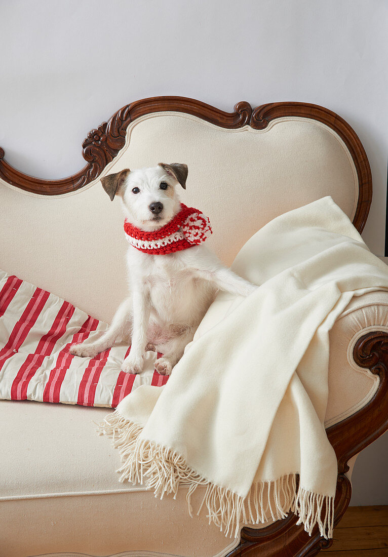 Dog wearing hand-knitted scarf sitting on old sofa
