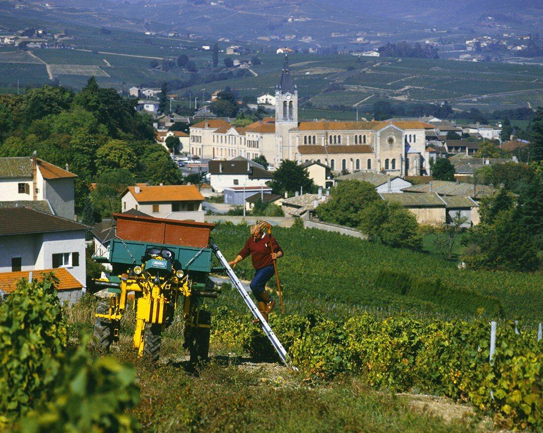 Weinlese oberhalb von Villie-Morgon, Beaujolais, Burgund