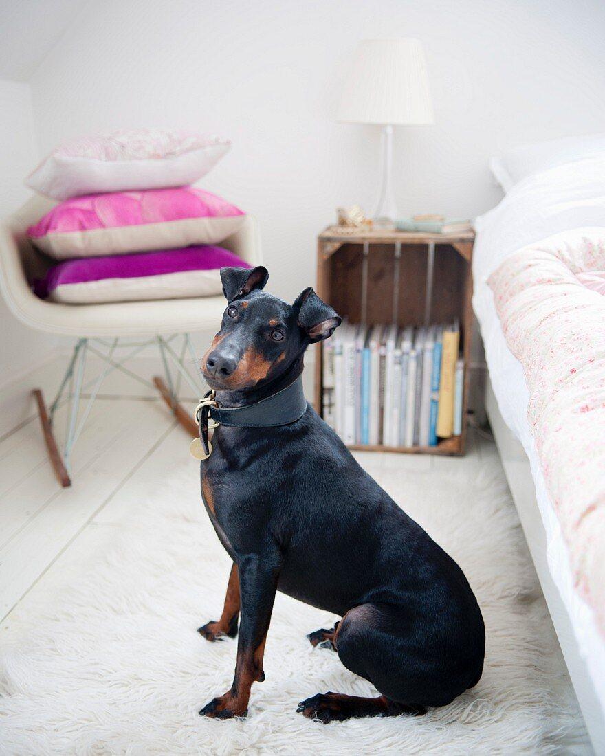 Black Manchester Terrier sitting on white flokati rug next to bed