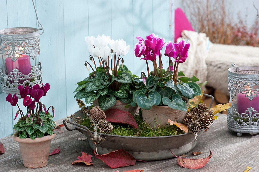 Pots with cyclamen persicum in zinc bowl with moss
