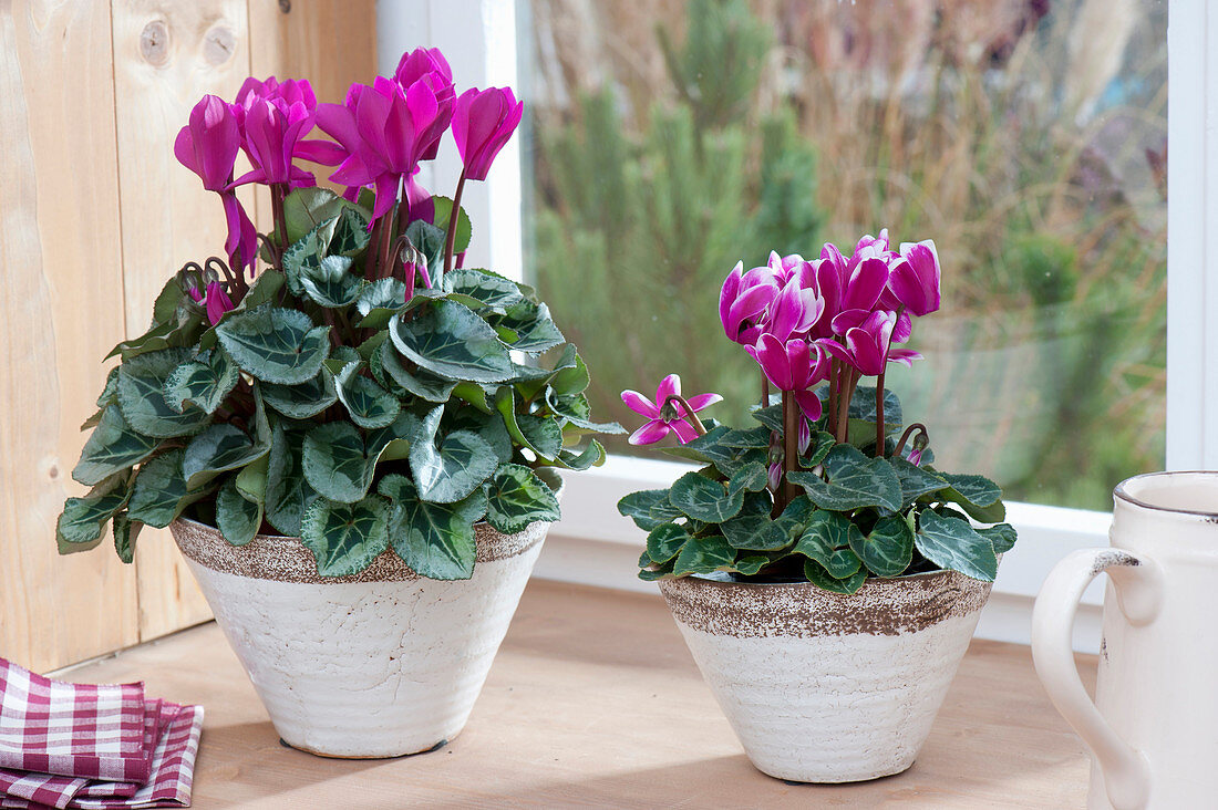 Cyclamen persicum (cyclamen) in conical pots by the window