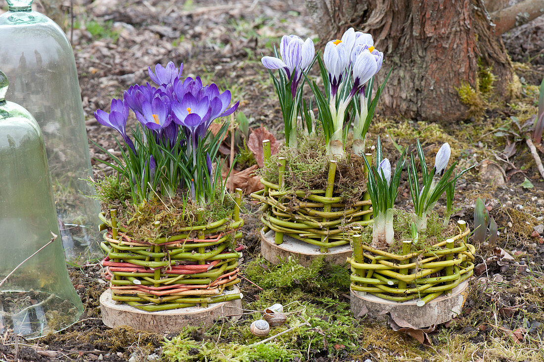 Homemade pots from Cornus branches