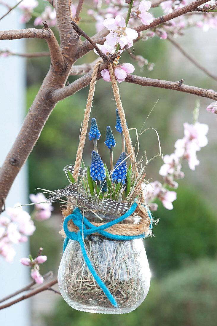 Muscari armeniacum (grape hyacinth) hung in glass on tree