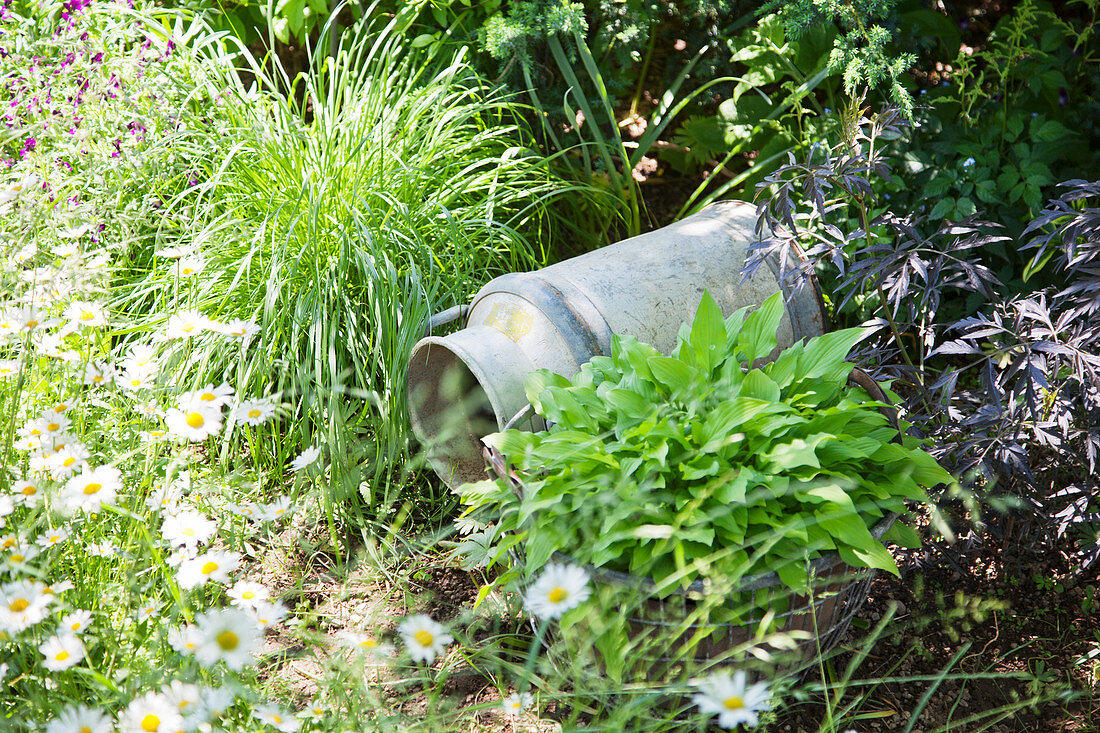 Old metal milk churn lying on ground in herbaceous border