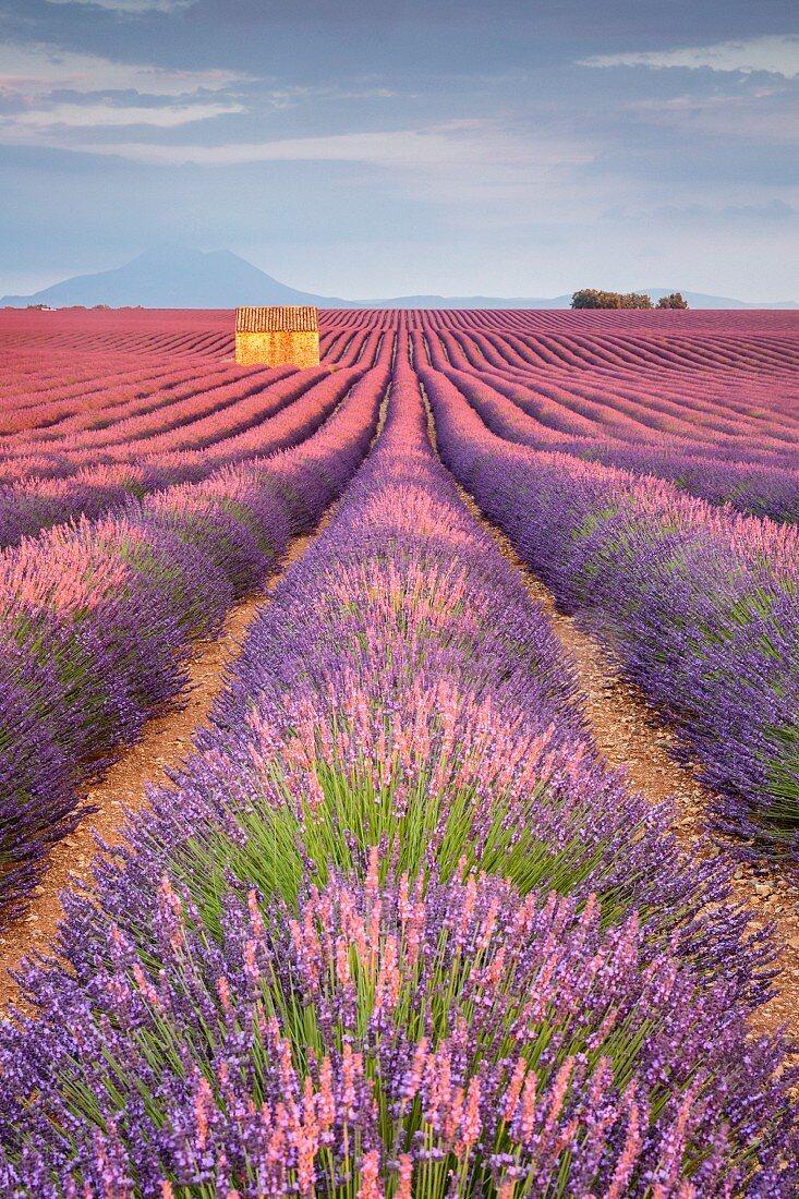 House in a lavender field at sunset, Plateau de Valensole, Alpes-de-Haute-Provence, Provence-Alpes-Cote d Azur, France, Europe