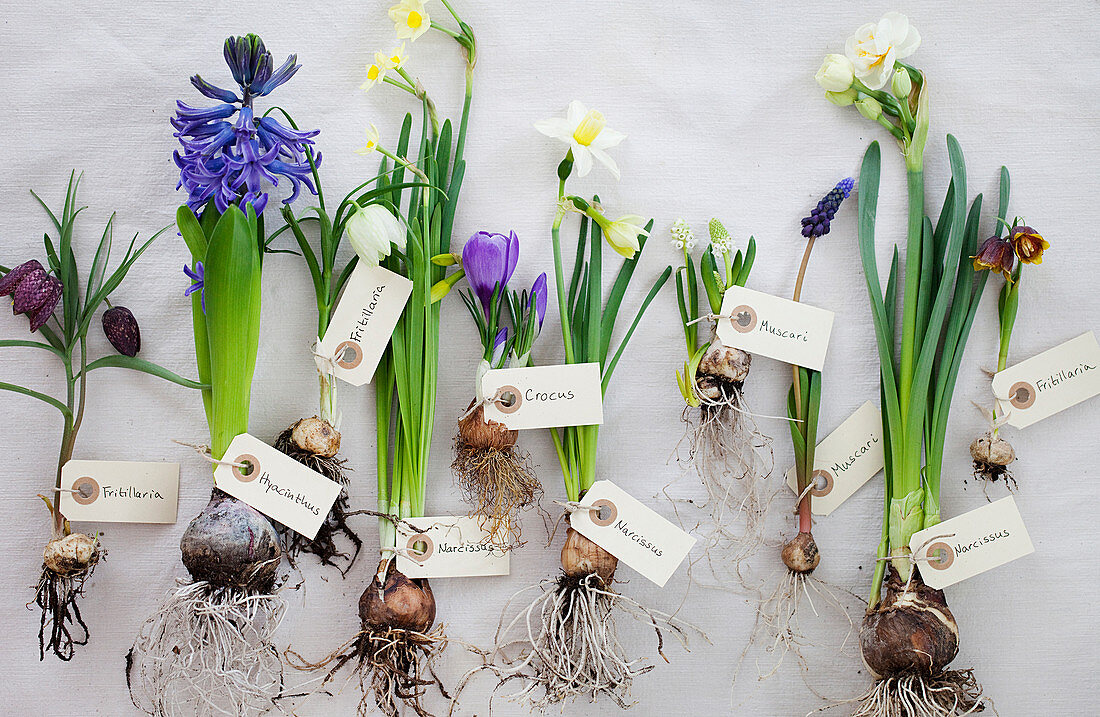 Various blooming onion flowers with bulb and label