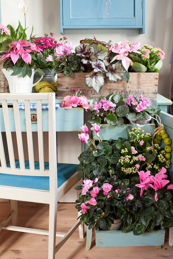 Various plants with deep pink and pale pink flowers arranged on blue desk