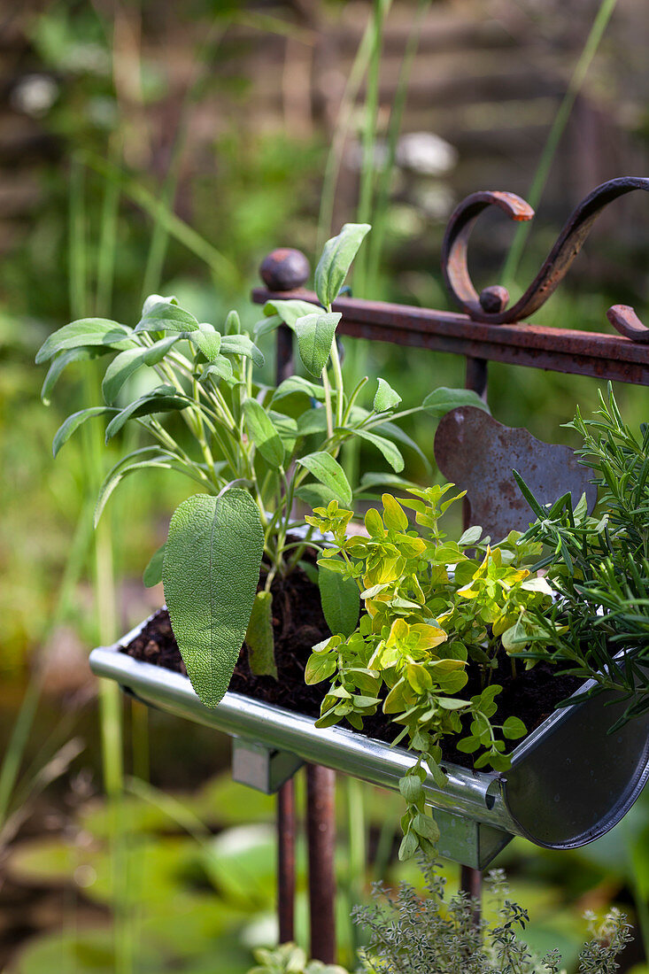 Sage and oregano in gutter