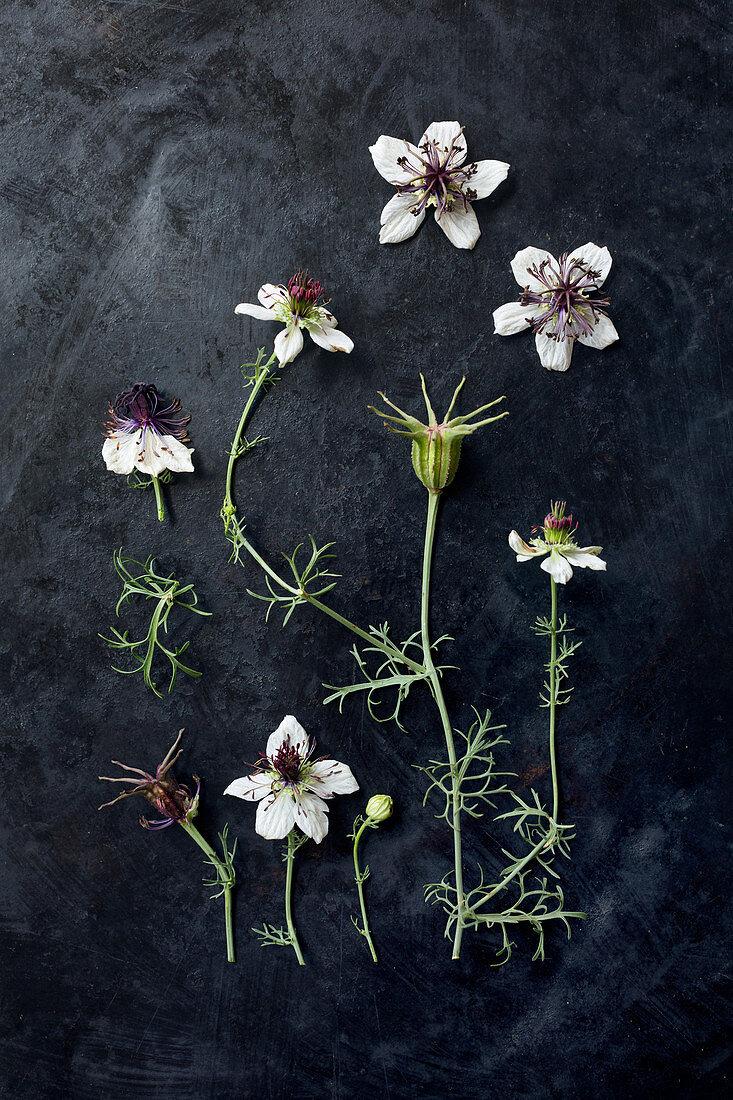 Love-in-a-mist flowers (Nigella damascena) on dark surface