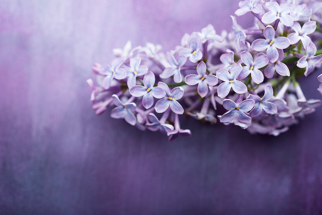 Lilac flowers on purple surface