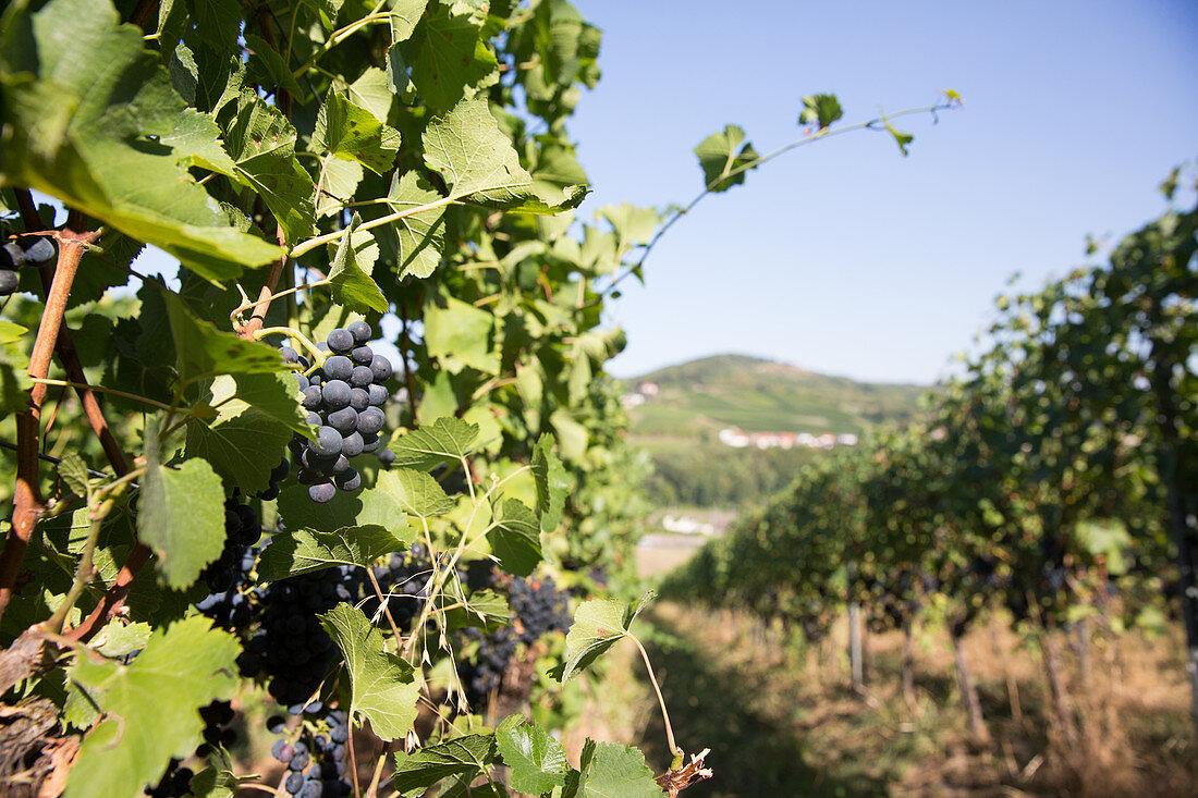 Rotweintrauben am Rebstock, Weinberg am Schengen, Luxemburg