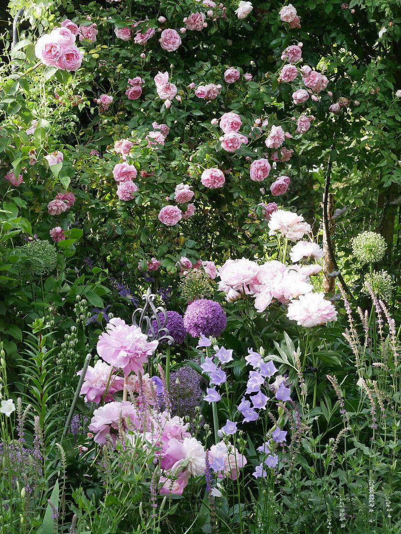 Climbing rose 'Sweet Laguna' with peony, bellflower, and allium 'Ambassador'