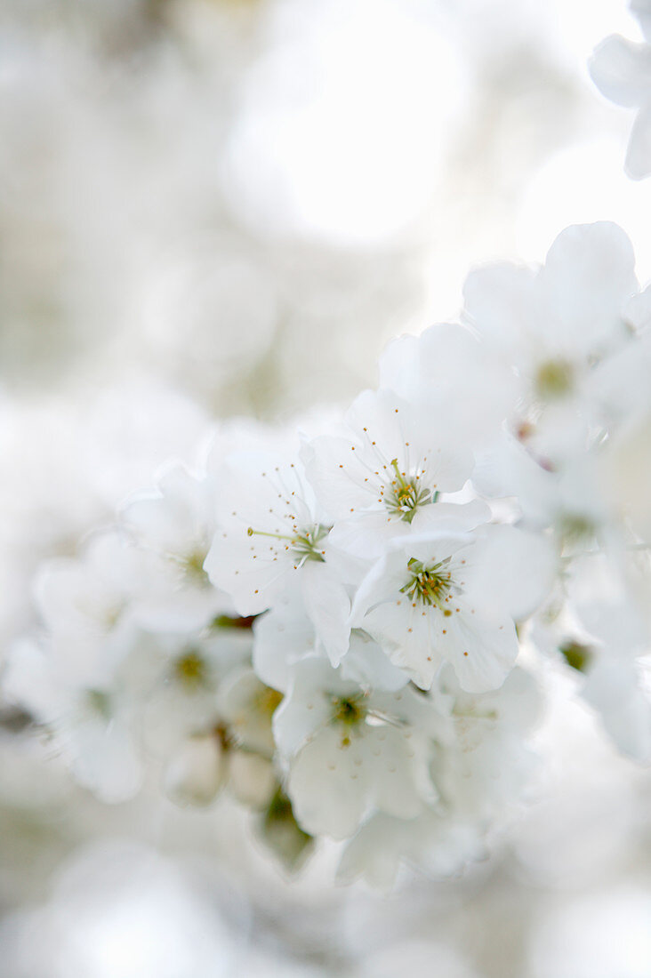 White almond blossom against blurred background