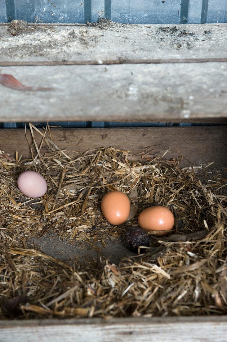 Freshly laid hens' eggs in straw