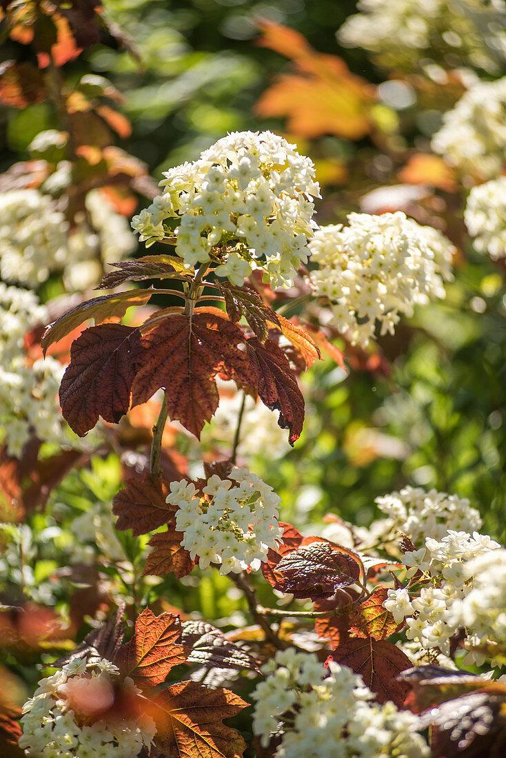 Oak-leaved hydrangea 'Pee Wee'