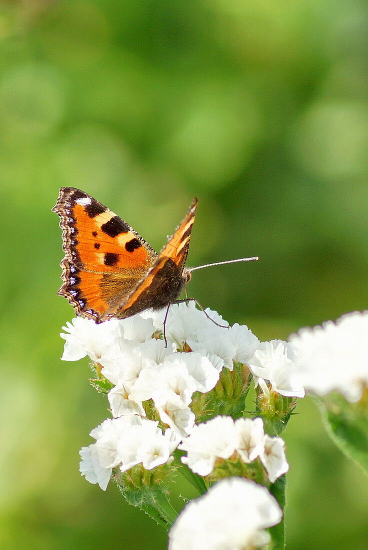 Butterfly 'Little Fox' on the blossom of sea lavender