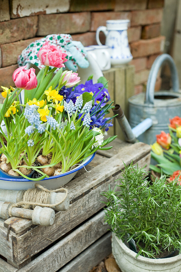 Old enamel bowl planted with grape hyacinths, tulips, narcissus, reticulated iris and primulas