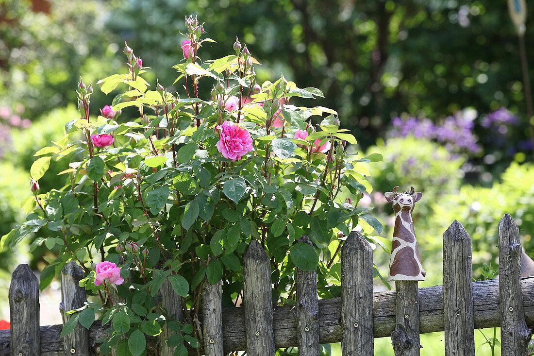 Flowering rose bush behind wooden garden fence