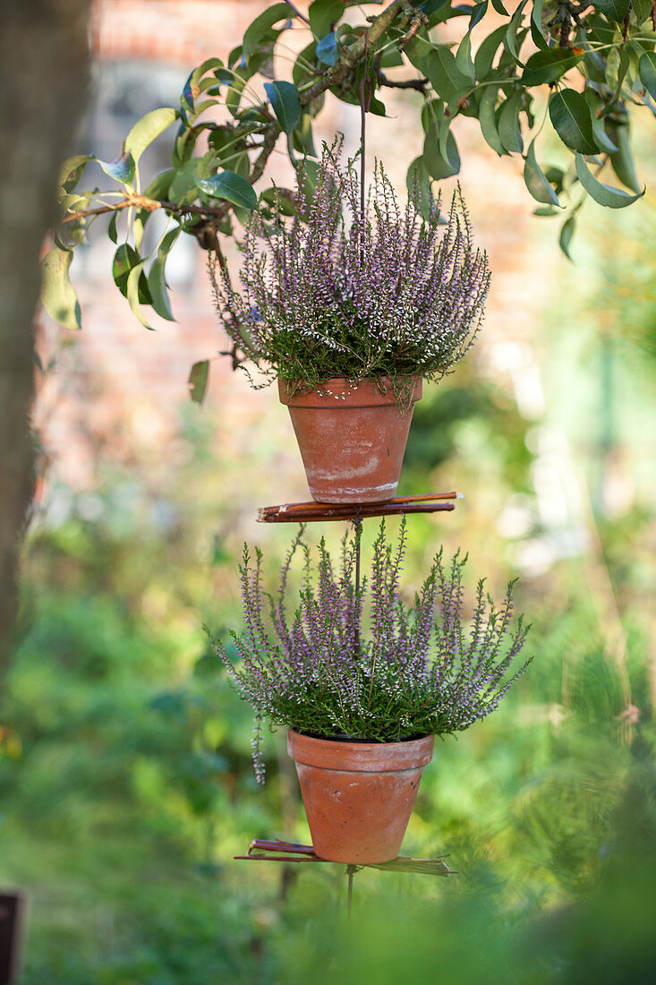 Homemade hanging heather plants in terracotta pots hanging in a tree
