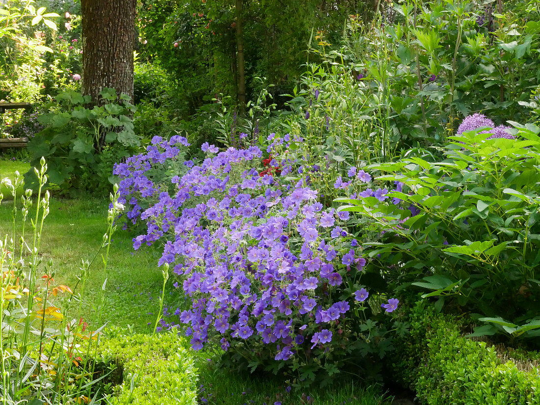Perennial bed with magnificent cranesbill 'Rosemoor'