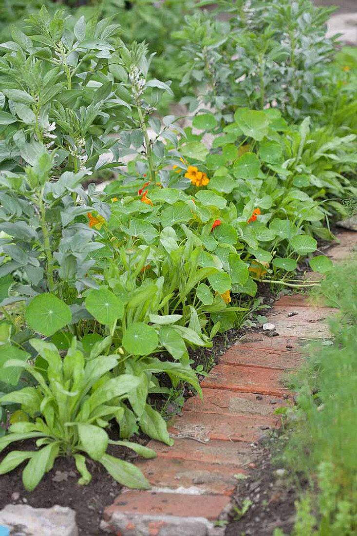Mischkultur mit Ackerbohne, Kapuzinerkresse und Ringelblumen