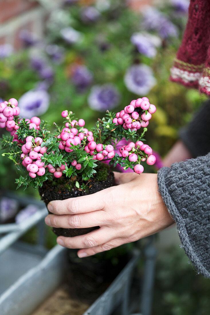 Pernettya in a planter