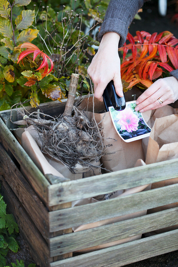 Winterizing dahlia tubers in paper bags, attach variety label