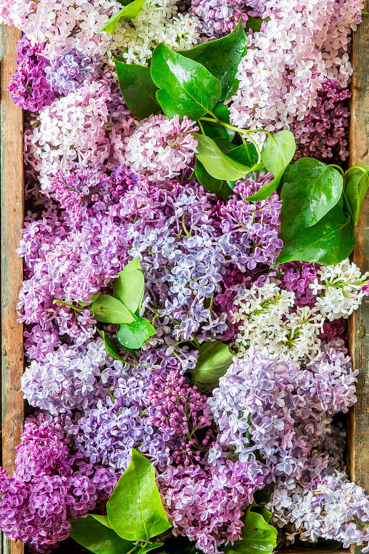 Lilac bouquet from above
