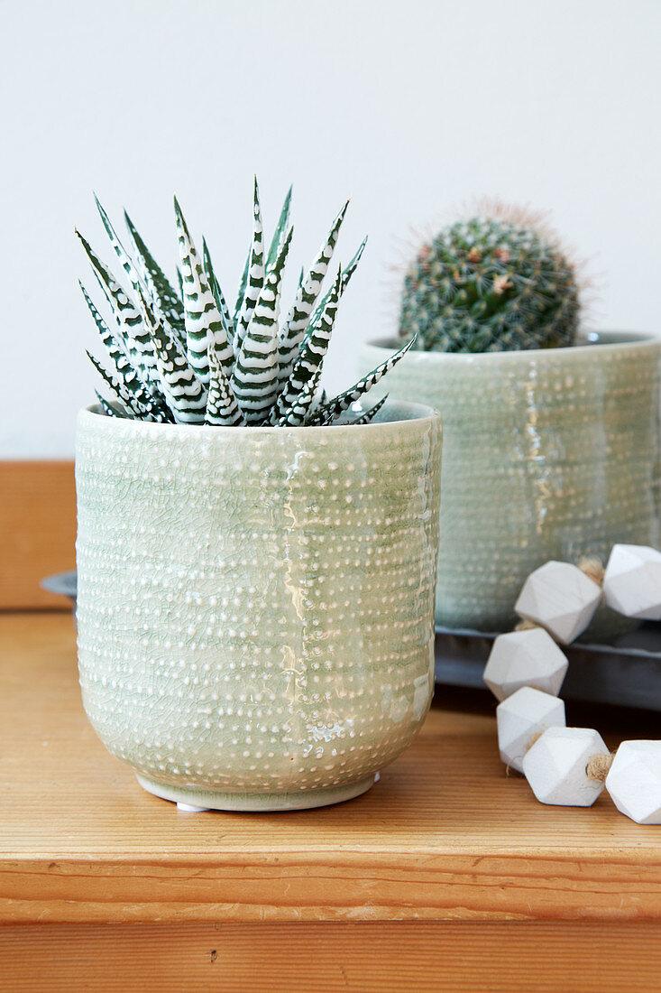 Potted zebra Haworthia and cactus