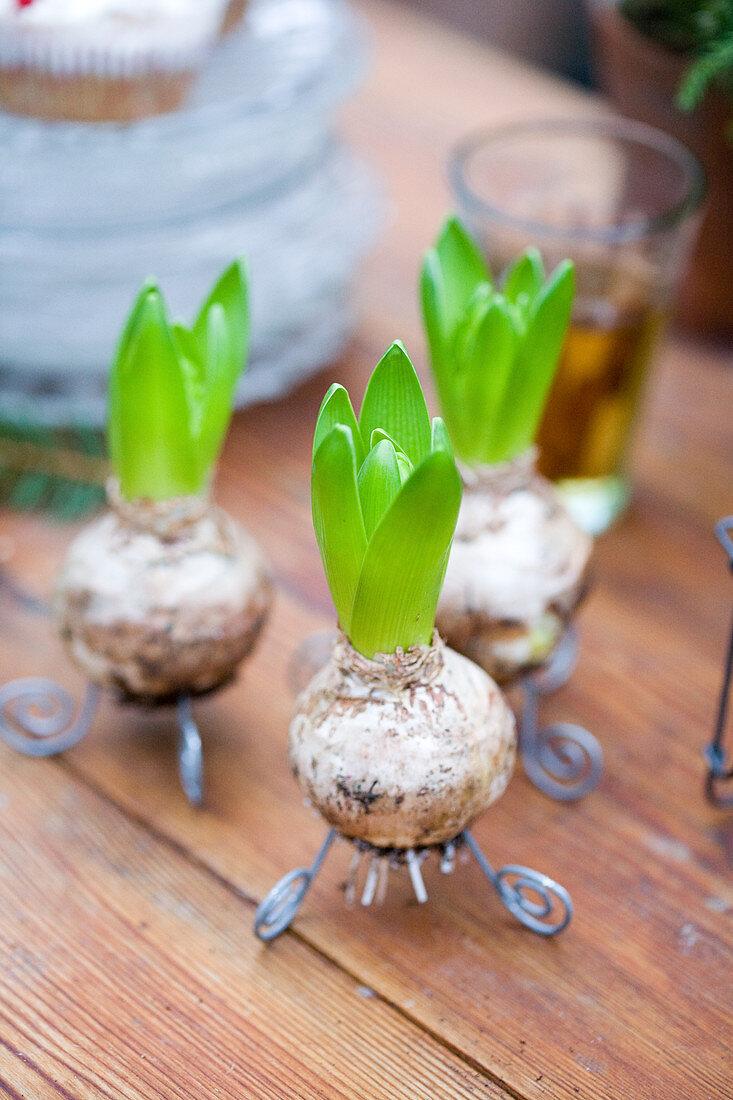 Hyacinth bulbs on wire feet