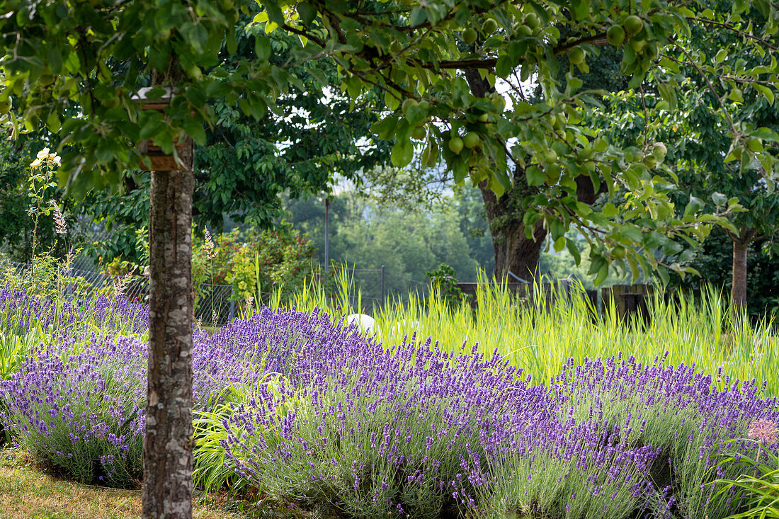 Flowering lavender and grasses between fruit trees