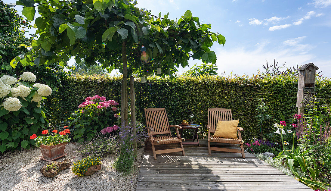 Deck chairs on a wooden deck by the hedge, elm for shade and hydrangeas, pot with geraniums, lavender in gravel