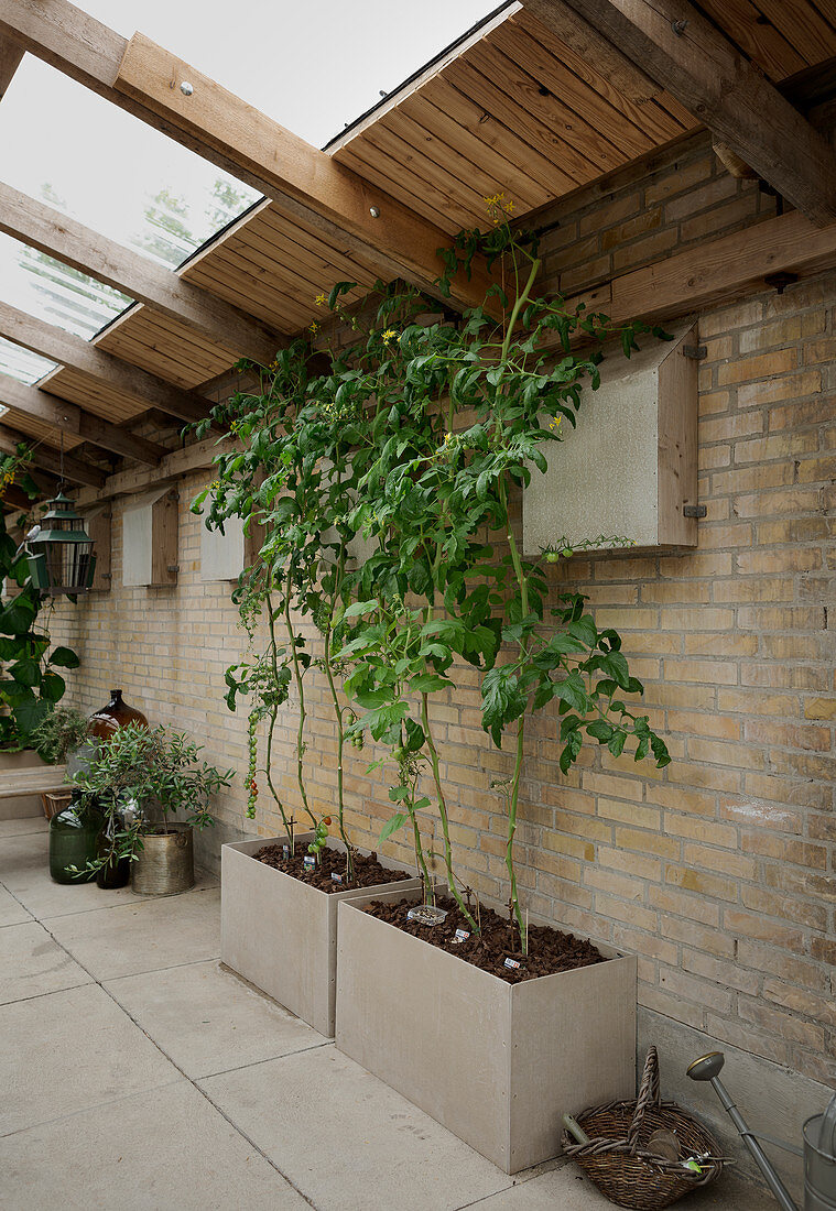 Tomato plants in raised beds in conservatory with brick walls