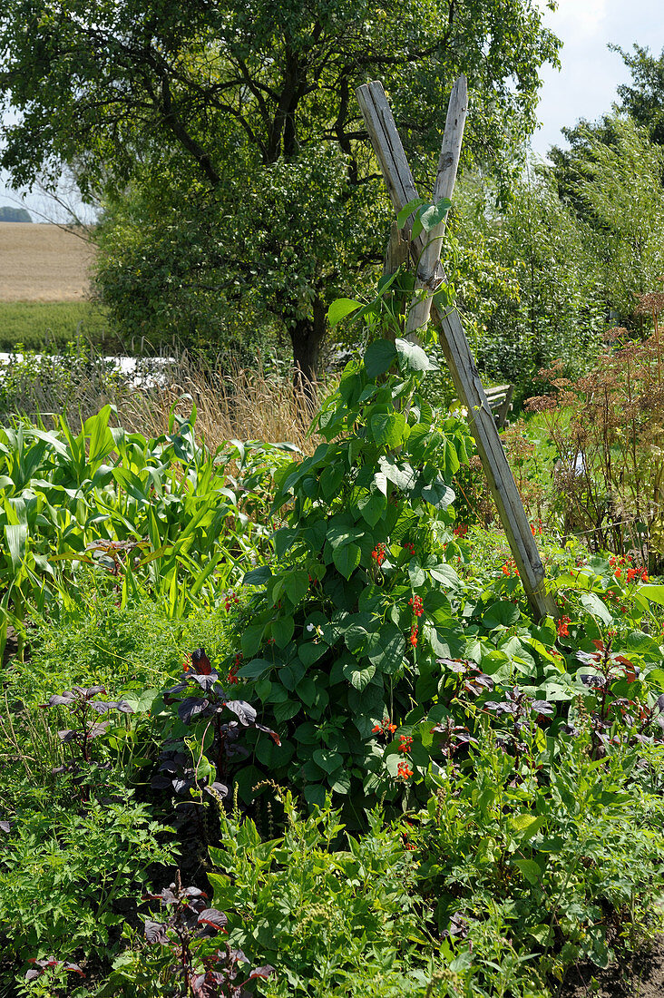 Sensory garden in Papendorf, Germany:runner beans growing on wigwam support