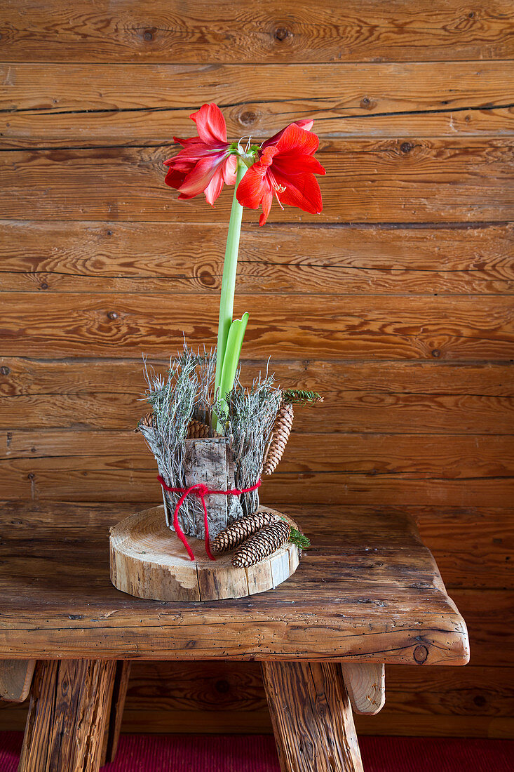 Amaryllis in jacket of bark and conifer cones on slice of tree trunk