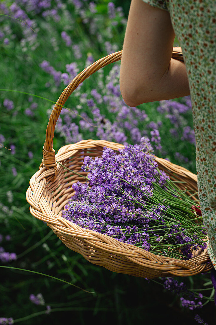 Basket of fresh lavender