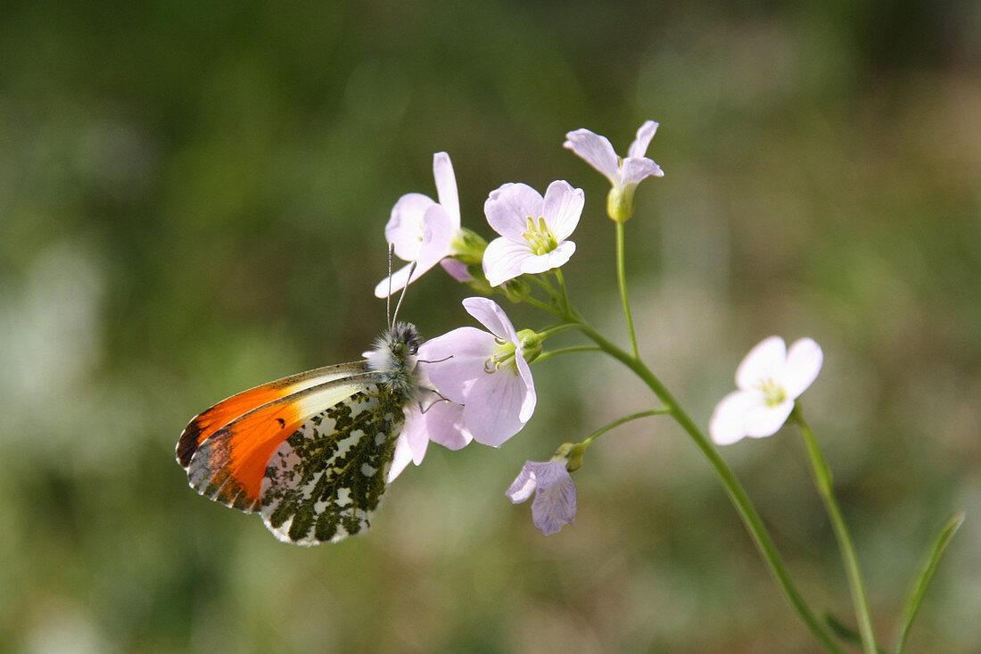 Male orange tip butterfly on lady's smock flower