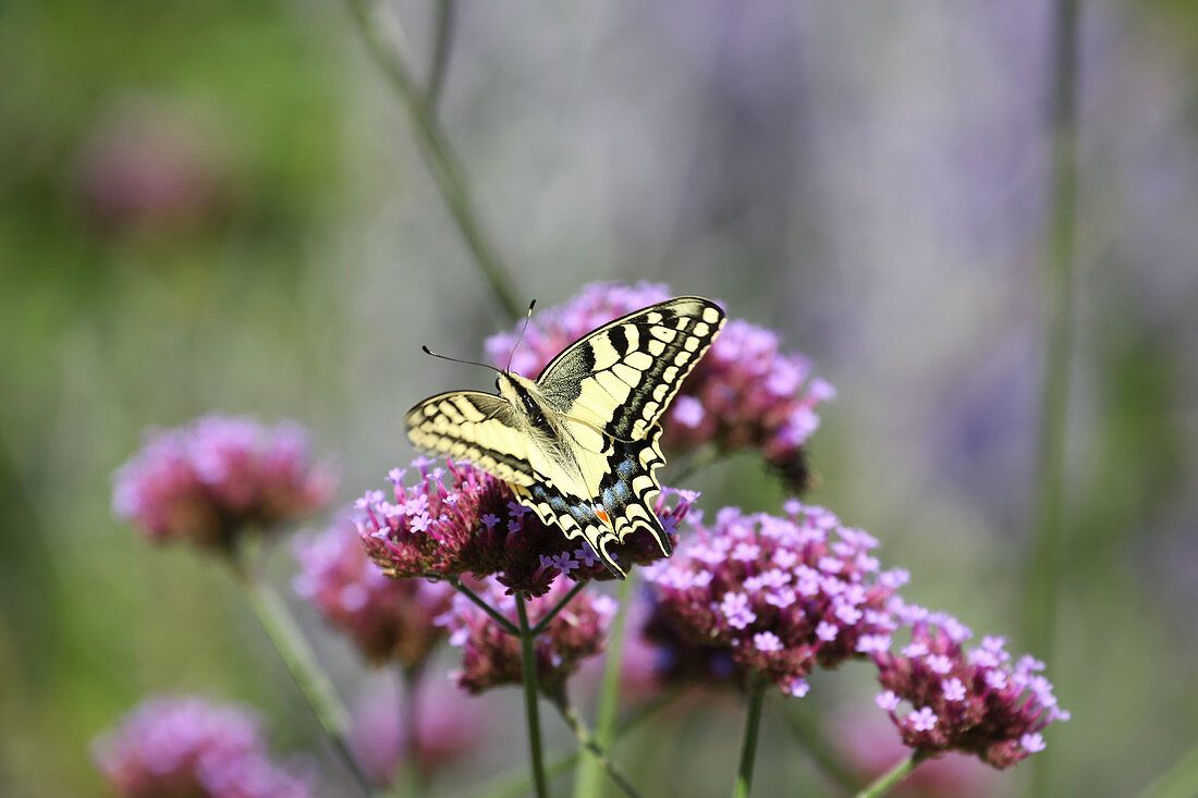 Swallowtail butterfly on verbena flower