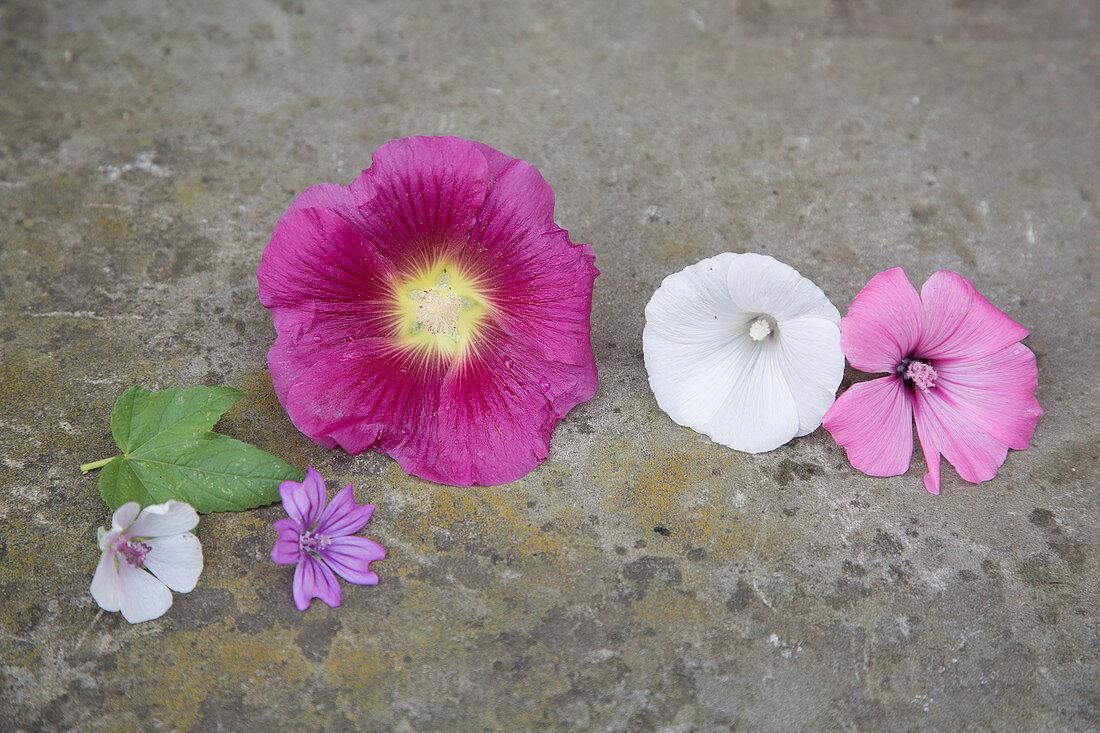 Blüten von Stockrose, Malve und Eibisch