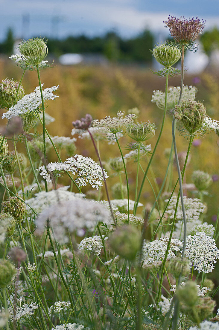 Queen Anne's lace growing in a field
