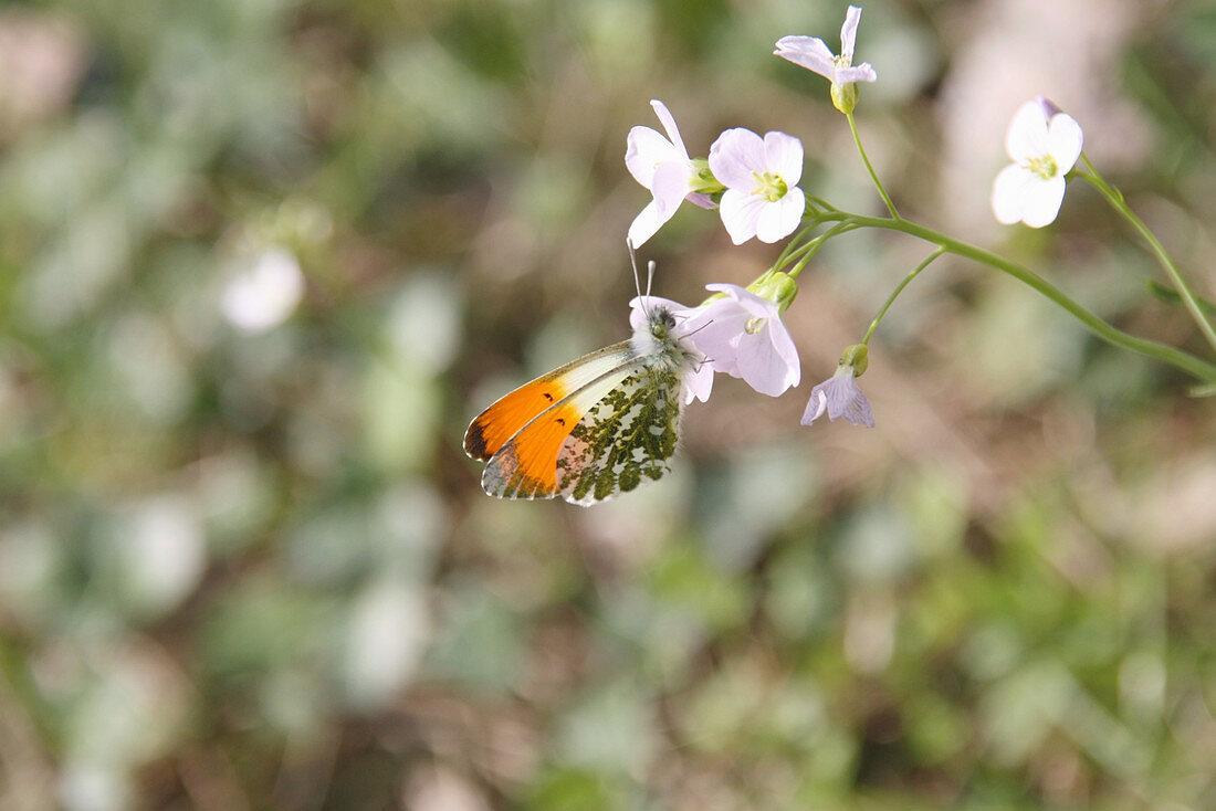 Aurora butterfly on the flower of the meadowfoam