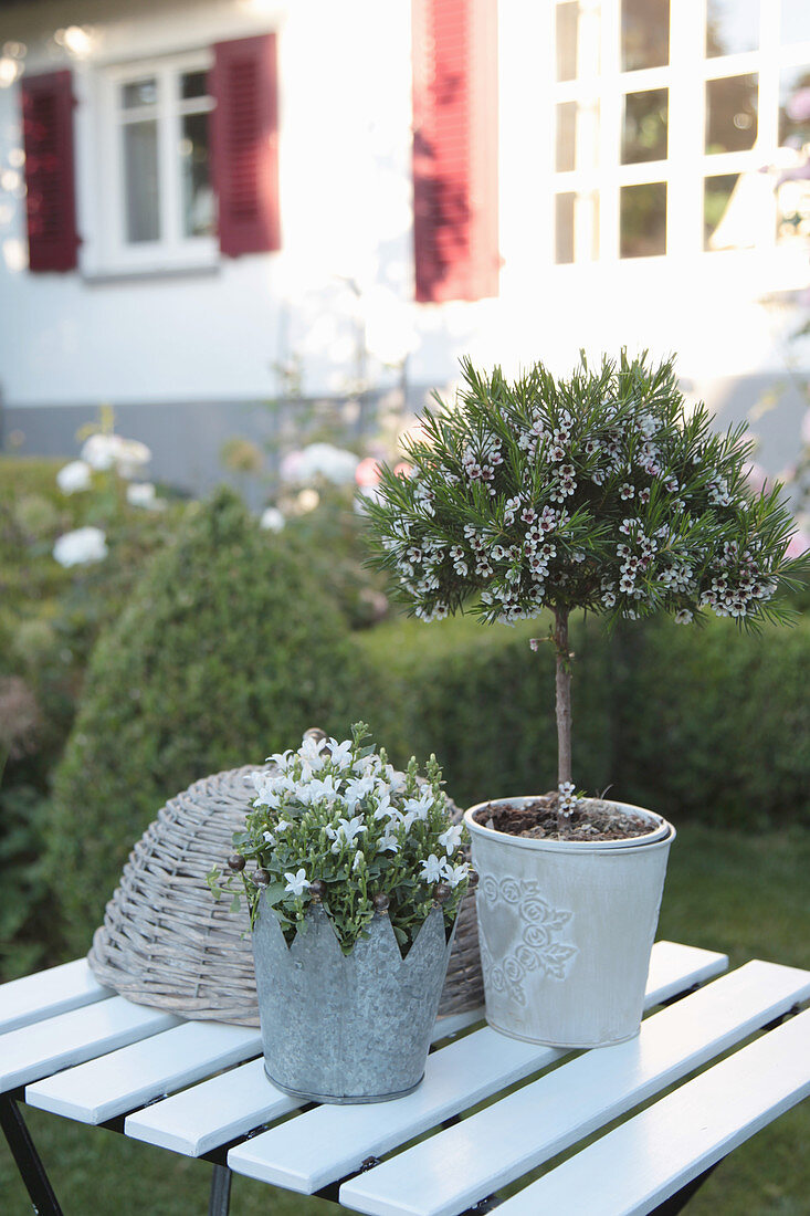 Australian waxflower trained as a standard and Dalmatian bellflower planted in zinc crown