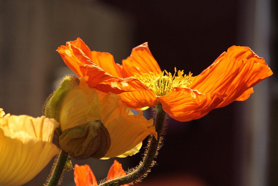 Blüten von Islandmohn