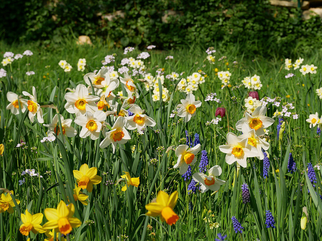 Narcissus and grape hyacinths in field of flowers