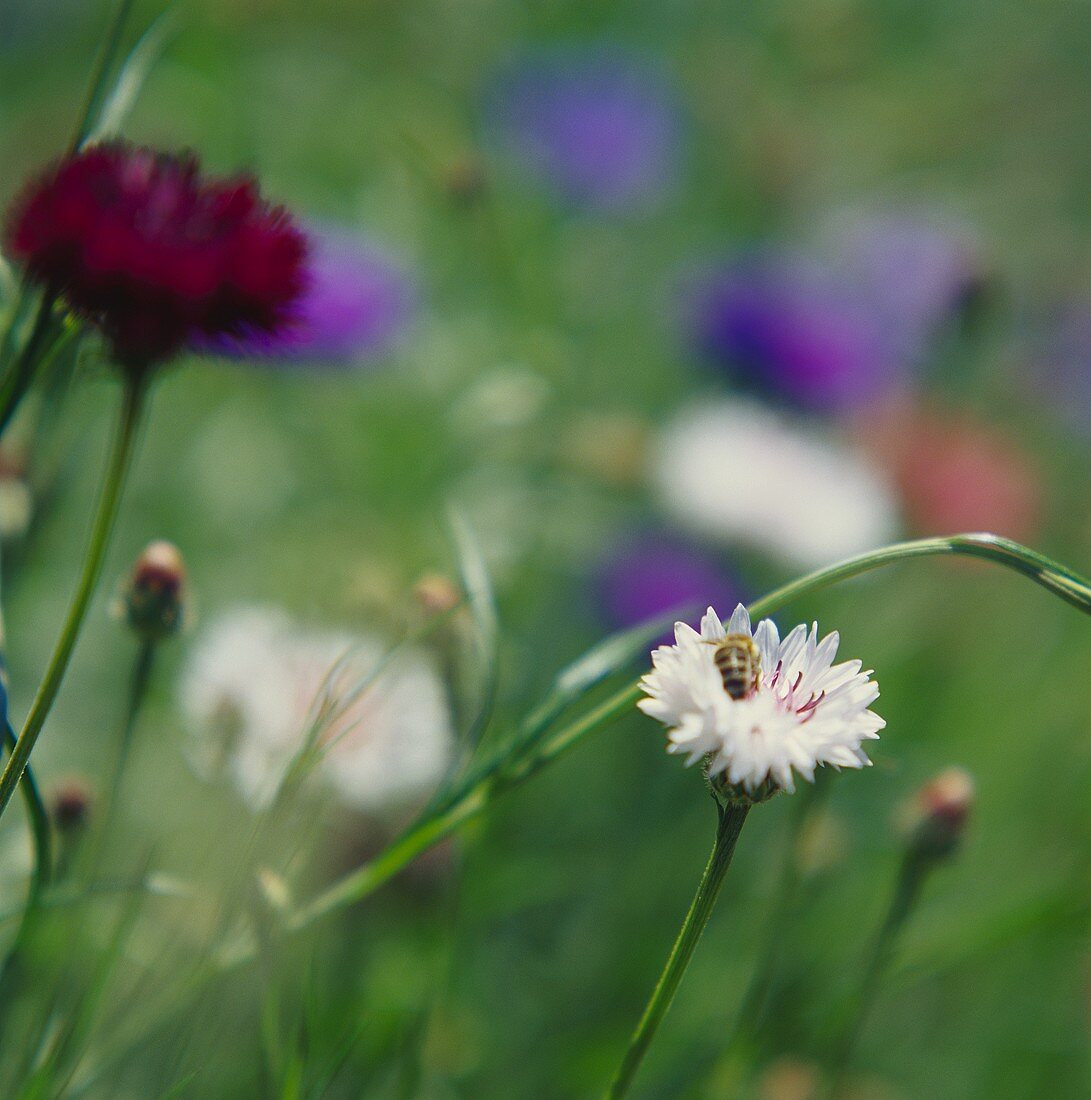 White and red cornflowers in open air (Centaurea cyanus)