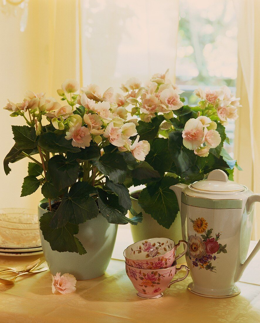 Pastel-coloured begonias and coffee cups and pot